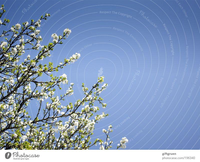 amidst flurrying cherry blossoms Natur Himmel weiß Baum Sonne blau Pflanze Blatt Blüte Frühling Umwelt Frucht Sauberkeit Ast Blühend Freundlichkeit