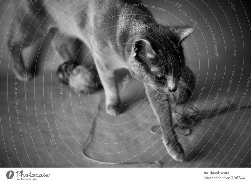 Stubentiger Tier Haustier Katze Tiergesicht Fell Krallen Pfote 1 Wolle Wollknäuel Bewegung Spielen ästhetisch grau schwarz silber weiß Schwarzweißfoto