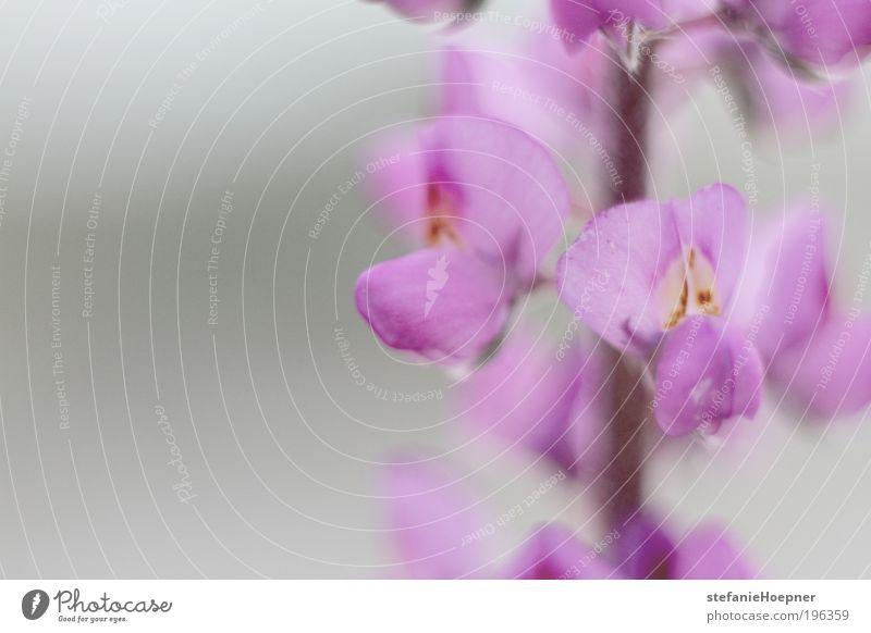 desert flower Natur blau Pflanze Blume Freude Umwelt Gefühle grau Frühling rosa natürlich ästhetisch außergewöhnlich Wüste violett Blühend