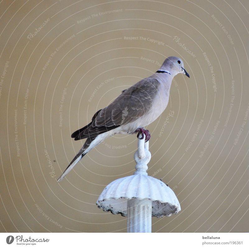 Balance Natur Schönes Wetter Tier Wildtier Vogel Taube Flügel Krallen 1 sitzen elegant natürlich dünn Lampe Farbfoto Außenaufnahme Morgen Tag Licht