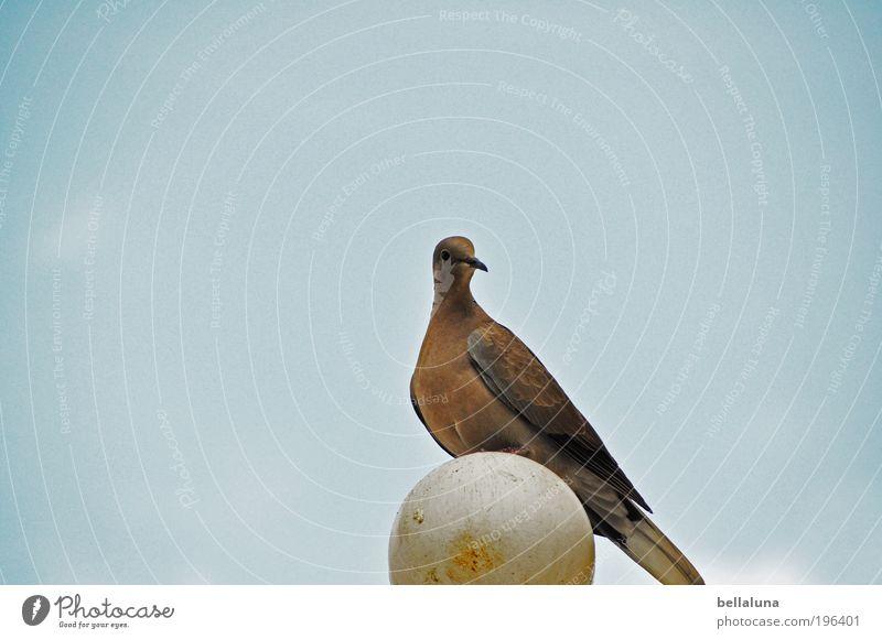 Für den Akkianer!!! :-)) Himmel Natur blau schön Sommer Tier Vogel Wildtier einzigartig Schönes Wetter Taube Wolkenloser Himmel
