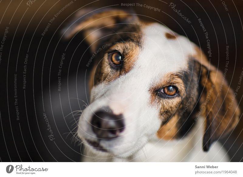 Blickkontakt Tier Haustier Hund Tiergesicht Fell 1 beobachten braun weiß Kontakt Hund Tier Säugetier Blick in die Kamera Farbfoto Innenaufnahme Nahaufnahme