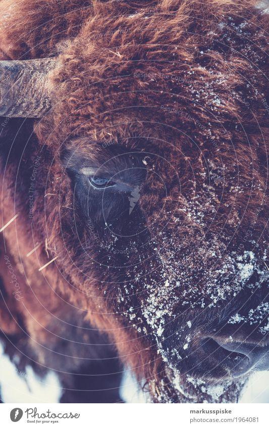 Wisent Bison Ferien & Urlaub & Reisen Landschaft Tier Winter Umwelt Wiese Schnee Tourismus braun Freizeit & Hobby Ausflug Angst gefährlich Abenteuer Fell Horn