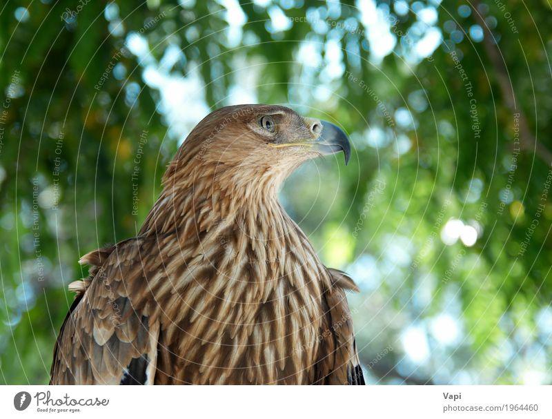 Ein Falkenadler Himmel Natur Pflanze blau grün weiß Baum Landschaft Tier Wald schwarz Umwelt Freiheit braun Vogel wild