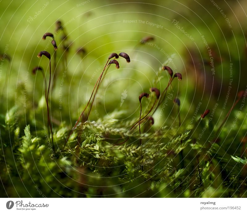 Mo(o)s Def Natur grün Pflanze Umwelt frisch Moos Samen Makroaufnahme Grünpflanze Waldboden Moosteppich
