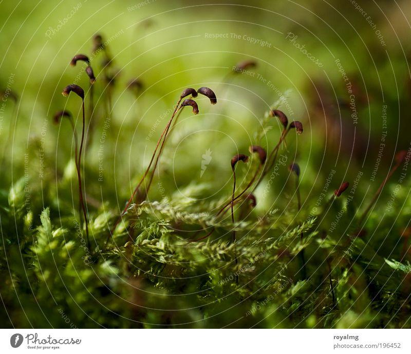Mo(o)s Def Umwelt Natur Pflanze Grünpflanze frisch grün Moos Moosteppich Samen Waldboden Farbfoto Gedeckte Farben Außenaufnahme Nahaufnahme Makroaufnahme