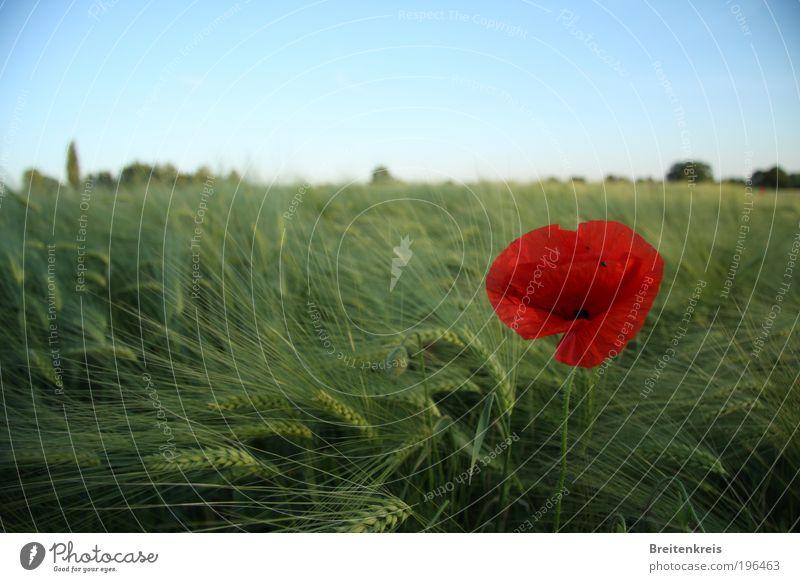 Ein Bett im Kornfeld Natur Himmel Sonne Blume Pflanze Sommer ruhig Leben Erholung Wiese Blüte Wärme Landschaft Zufriedenheit Feld