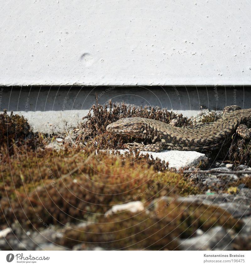 Energie tanken Moos Tier Wildtier Echte Eidechsen Reptil 1 beobachten liegen hell nah dünn trocken unten Wärme Natur Sonnenbad ruhen Vorsicht Linie Pflanze