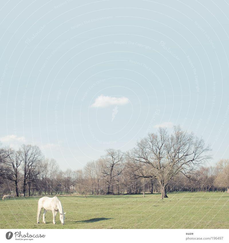 Koppel 66 Himmel Natur weiß Baum grün blau ruhig Tier Wiese Landschaft Umwelt Pferd stehen Weide einzeln Fressen
