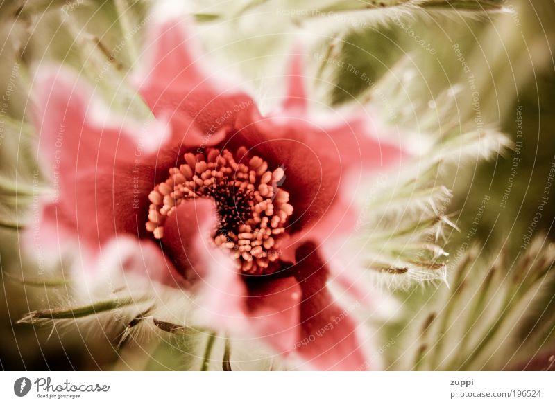 Blümchen Natur Pflanze Frühling Blüte natürlich grün rosa Umwelt Farbfoto Nahaufnahme Menschenleer