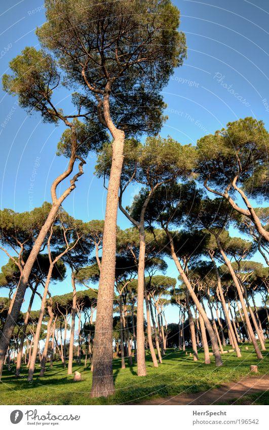 Pinienwald Umwelt Natur Landschaft Pflanze Wolkenloser Himmel Baum Gras Park Wald ruhig Farbfoto Außenaufnahme Tag Licht Schatten Kontrast Starke Tiefenschärfe