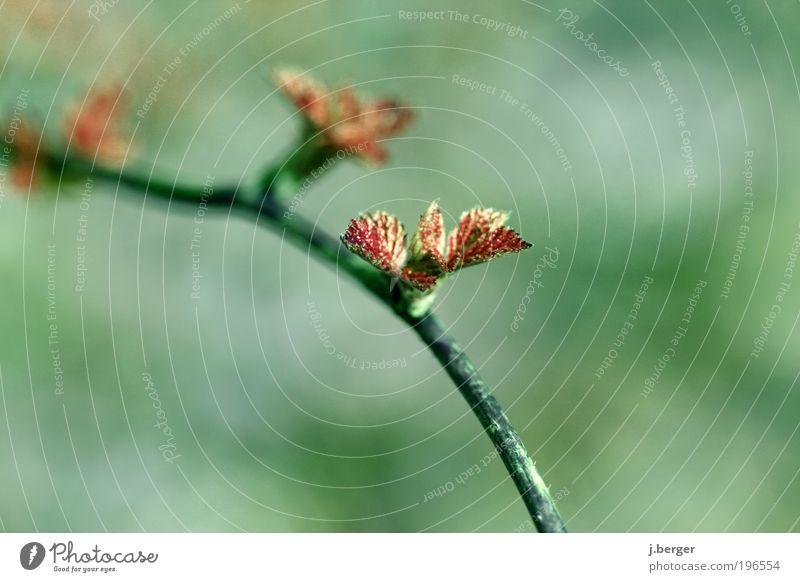 sprout Natur Baum grün Pflanze rot Blatt Frühling Umwelt ästhetisch Ast mehrfarbig Zweig Makroaufnahme Perspektive