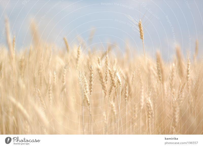 hare hare gerste Lebensmittel Getreide Ernährung Bioprodukte Vegetarische Ernährung Umwelt Natur Landschaft Tier Sommer Herbst Pflanze Nutzpflanze Feld blau