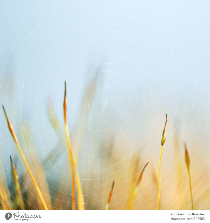 Calyptra 2010 #03 elegant schön Sinnesorgane Natur Pflanze Frühling Moos Wachstum ästhetisch dünn fantastisch hell klein Spitze weich blau gelb filigran fein