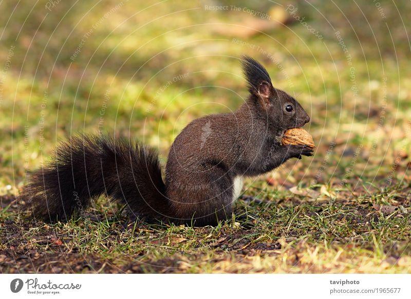 süßes Eichhörnchen aus dem Park Natur grün schön rot Tier Wald Umwelt Essen Herbst lustig natürlich klein Garten grau braun wild