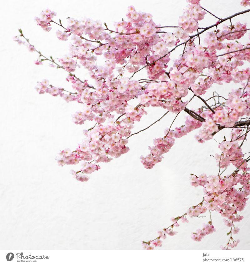 april Natur Frühling Schönes Wetter Pflanze Baum Blume Blatt Blüte Park Mauer Wand Fassade Freundlichkeit hell schön rosa weiß Frühlingsgefühle Vorfreude