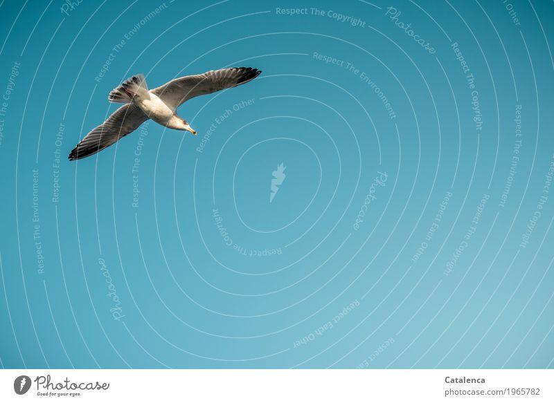 Fisch? Tier nur Himmel Wolkenloser Himmel Schönes Wetter Meer Vogel Möwe 1 beobachten fliegen elegant frei natürlich schwarz silber türkis weiß Leben Ausdauer