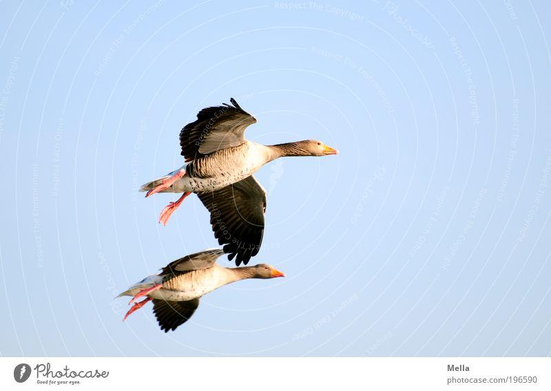 Wilderness all over Umwelt Natur Tier Luft Himmel Wildtier Vogel Wildgans Graugans 2 Tierpaar fliegen Zusammensein natürlich blau Stimmung Einigkeit Sympathie