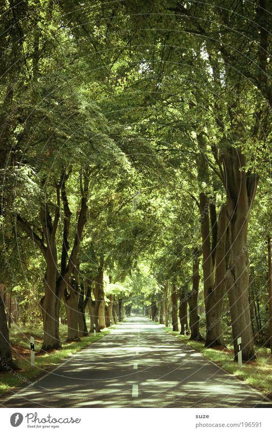 Allee, Allee Umwelt Natur Landschaft Pflanze Urelemente Sommer Klima Schönes Wetter Baum Blatt Wald Verkehr Verkehrswege Straße Wege & Pfade frei natürlich grün