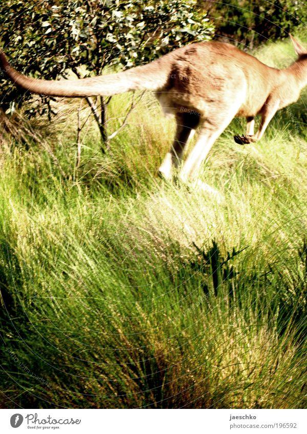 Zweibeinhase Tourismus Ferne Freiheit Safari Expedition Natur Tier Wiese Wildtier Känguruh 1 springen exotisch natürlich Fernweh elegant Leichtigkeit Todesangst