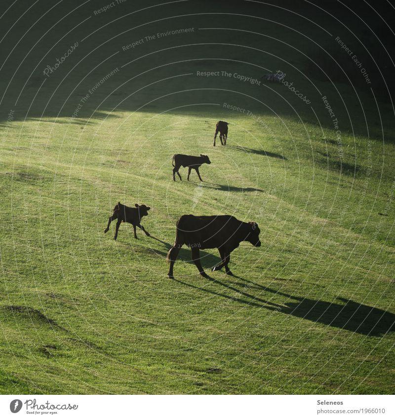 glückliche Kühe Ferien & Urlaub & Reisen Tourismus Ausflug Sommer Landwirtschaft Forstwirtschaft Umwelt Natur Frühling Schönes Wetter Wiese Hügel Tier Nutztier