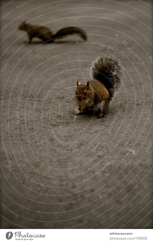 Squirrel Eichhörnchen Tier Park Wildtier Nagetiere 2 Fressen braun grau Farbfoto Außenaufnahme Nahaufnahme Textfreiraum links Textfreiraum unten