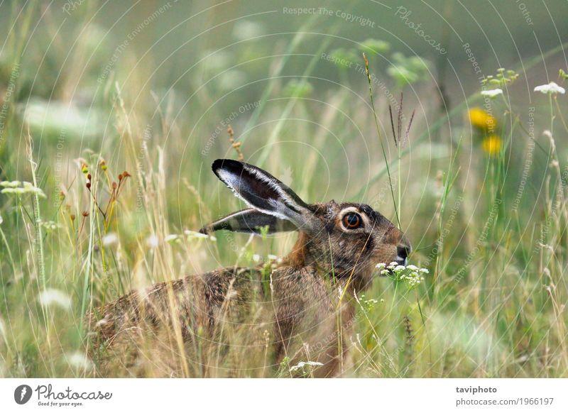 wilder brauner europäischer Hase Spielen Jagd Ostern Natur Tier Gras Wiese Pelzmantel sitzen natürlich niedlich grau grün Wachsamkeit lepus europaeus Tierwelt