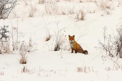 wilder europäischer roter Fuchs im Schnee Natur Hund schön weiß Tier Winter Wald Gesicht Wiese niedlich Lebewesen Europäer Säugetier