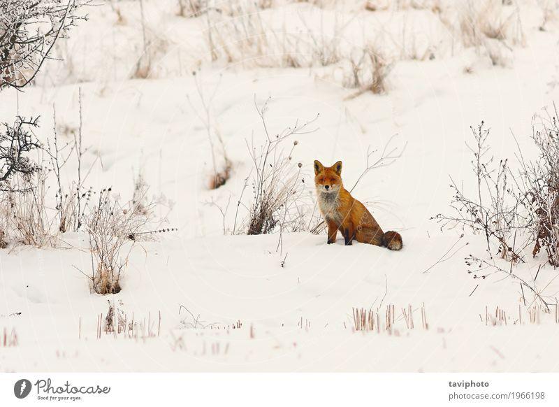 wilder europäischer roter Fuchs im Schnee schön Gesicht Winter Natur Tier Wiese Wald Pelzmantel Hund niedlich klug weiß Schamlippen Europäer farbenfroh Tierwelt