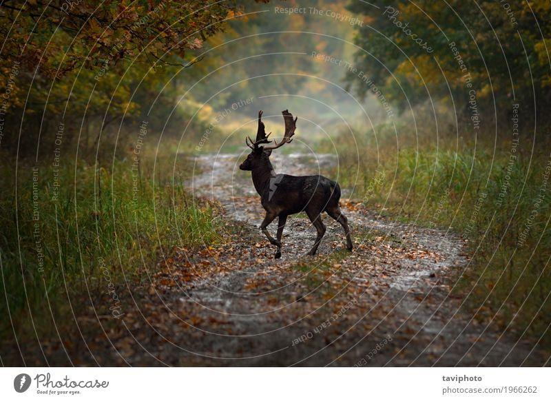 Damhirsch Bock auf Forststraße schön Spielen Jagd Sommer Mann Erwachsene Natur Landschaft Tier Herbst Park Wald Pelzmantel stehen natürlich niedlich wild braun