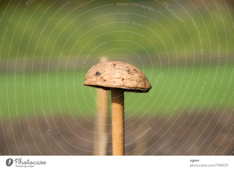 Nuss-Pilz alt braun natürlich Schönes Wetter bizarr Originalität Nuss nerdig