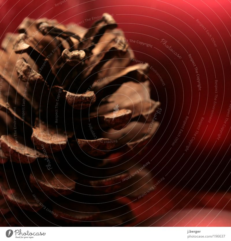 bald ist weihnachten Pflanze Zapfen ästhetisch außergewöhnlich braun rot Makroaufnahme Nahaufnahme Detailaufnahme vertrocknet verdorrt Samen Samenpflanze