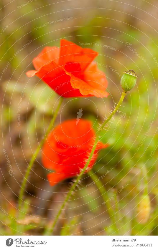 Klatschrosen sind rot Ernährung Rauschmittel Sommer Natur Landschaft Frühling Blume Blüte Nutzpflanze Garten Feld ästhetisch einfach natürlich schön Erotik