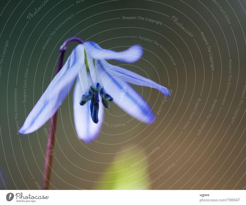 Frühlingserwachen Natur Blume blau Pflanze Blüte frisch ästhetisch authentisch Frieden Schönes Wetter bizarr Nutzpflanze