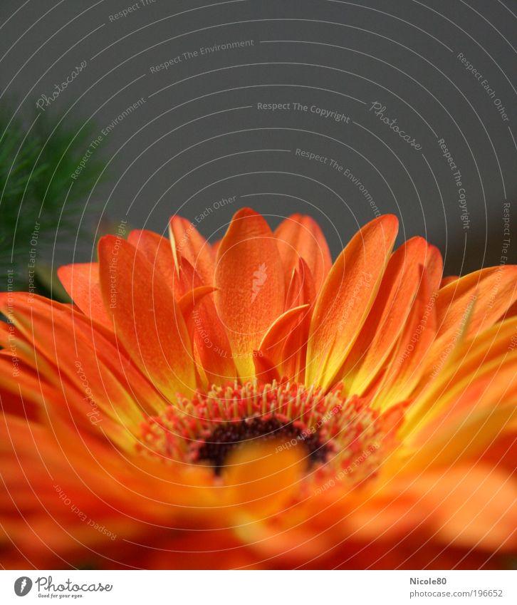 Sonnenaufgang Umwelt Natur Pflanze Blume Blüte ästhetisch Duft authentisch einfach gelb rot Blumenstrauß Gerbera orange Farbfoto Innenaufnahme Nahaufnahme