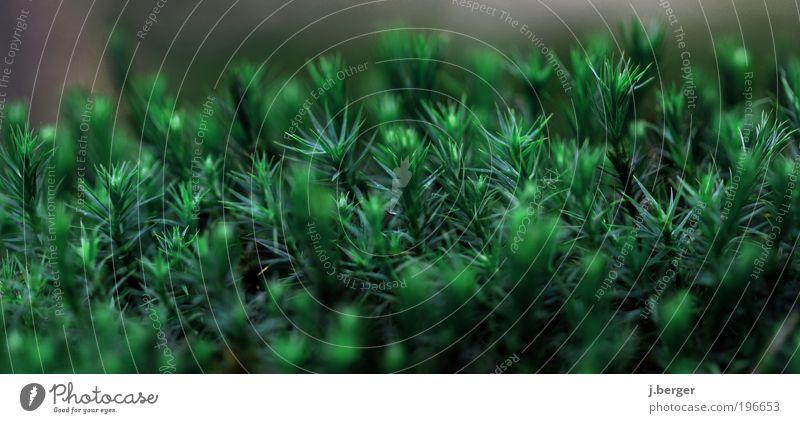 im moos nix los Natur grün Pflanze dunkel Frühling klein außergewöhnlich bedrohlich Spitze nah Moos stachelig Makroaufnahme Moosteppich