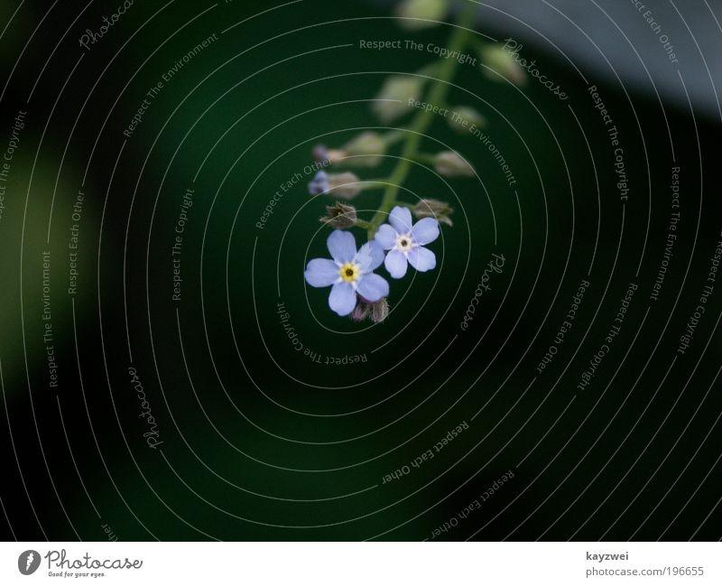 Vergissmeinnicht Solo Natur Pflanze Frühling Blüte klein blau grün schwarz Einsamkeit Farbfoto Außenaufnahme Menschenleer Tag Schatten Starke Tiefenschärfe