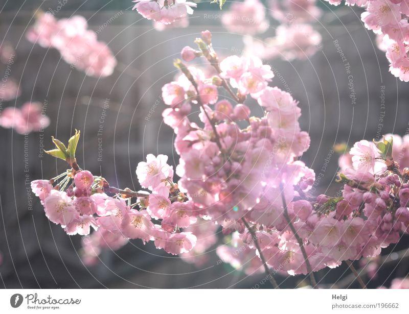 rosa Blüten der Zierkirsche im Sonnenlicht Umwelt Natur Pflanze Frühling Schönes Wetter Baum Blatt Park Blühend Duft hängen leuchten Wachstum ästhetisch frisch