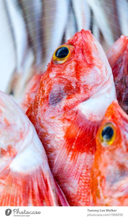 Frisch gefangene Rotbarsche Meeresfrüchte Ernährung Abendessen Diät Reichtum sparen Restaurant Tier verkaufen Armut frisch nachhaltig rot weiß Fisch Markt