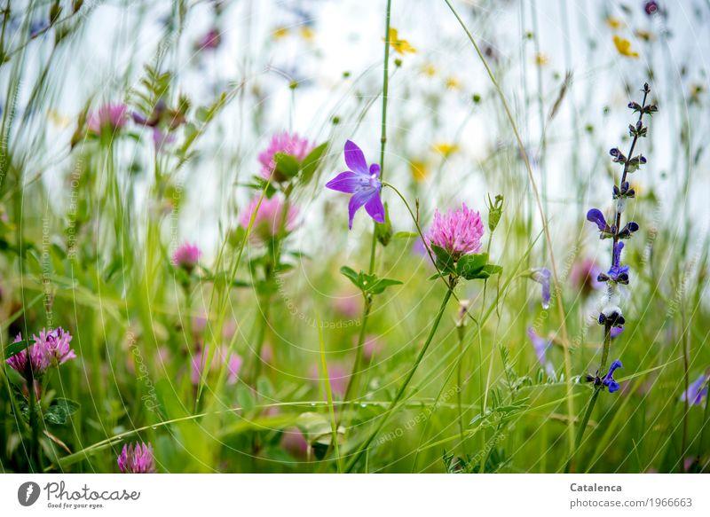 Blumen Natur Pflanze Sommer grün Blatt Umwelt Blüte Wiese Stimmung Wachstum frisch ästhetisch Fröhlichkeit Blühend Alpen Duft