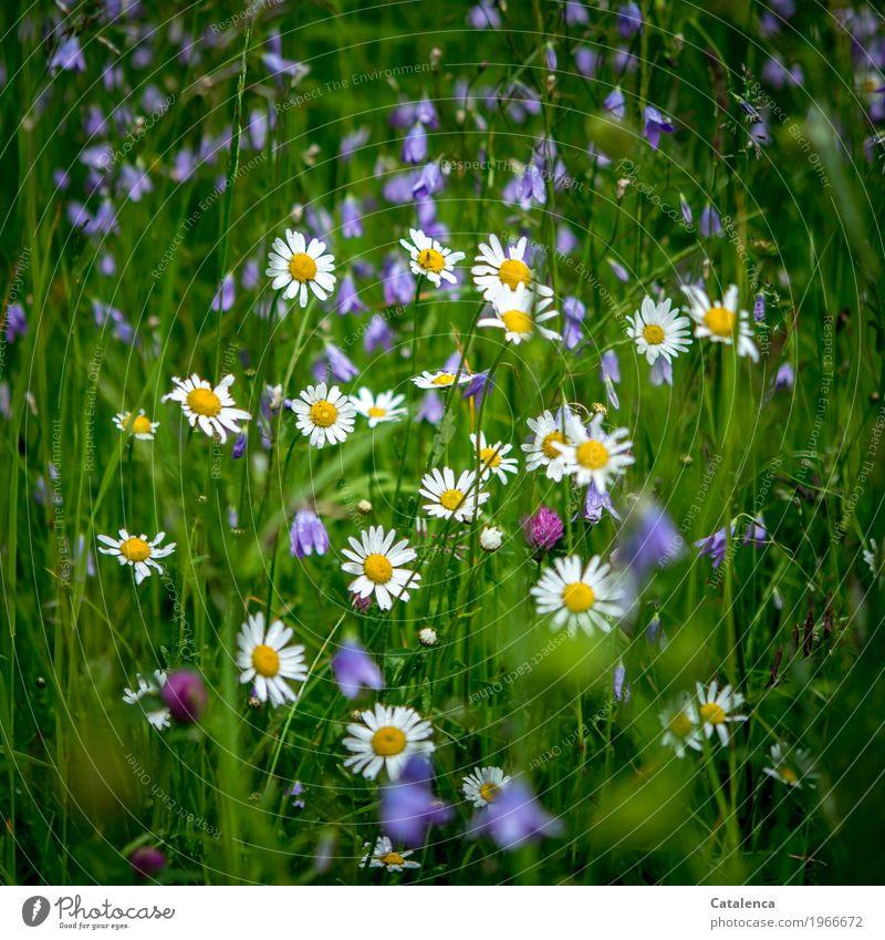 Zusammen Natur Pflanze Sommer Blume Gras Blatt Blüte Margerite Glockenblume Kleeblüte Wiese Feld Blühend Duft Wachstum ästhetisch schön blau gelb grün violett