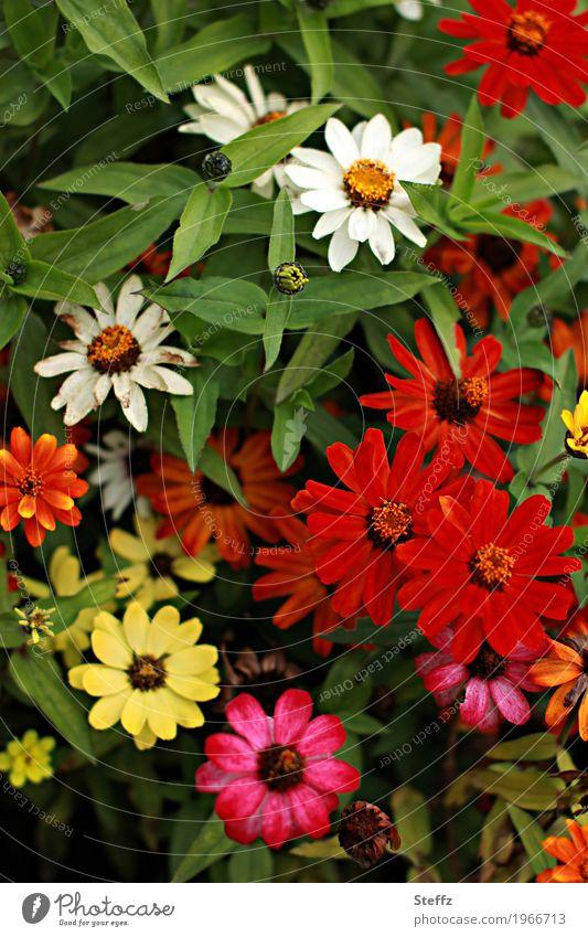 Zinnien blühen im Bauerngarten Zinnia Korbblütler Zierblumen Blumenteppich Zierpflanzen floral Flora September Blütezeit dekorativ malerisch Gartenblumen Blüten