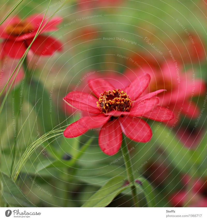 flower in red Natur Pflanze Sommer Farbe schön grün Blume rot Blüte Gras Garten Park Idylle Blühend Romantik Blütenblatt