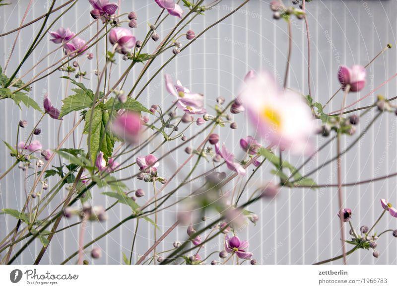 Blumen Blühend Blüte Garten Gras hell Schrebergarten Licht Pflanze Sommer Wassertropfen Wiese Blütenblatt Herbstanemone Anemonen Garten-Anemone