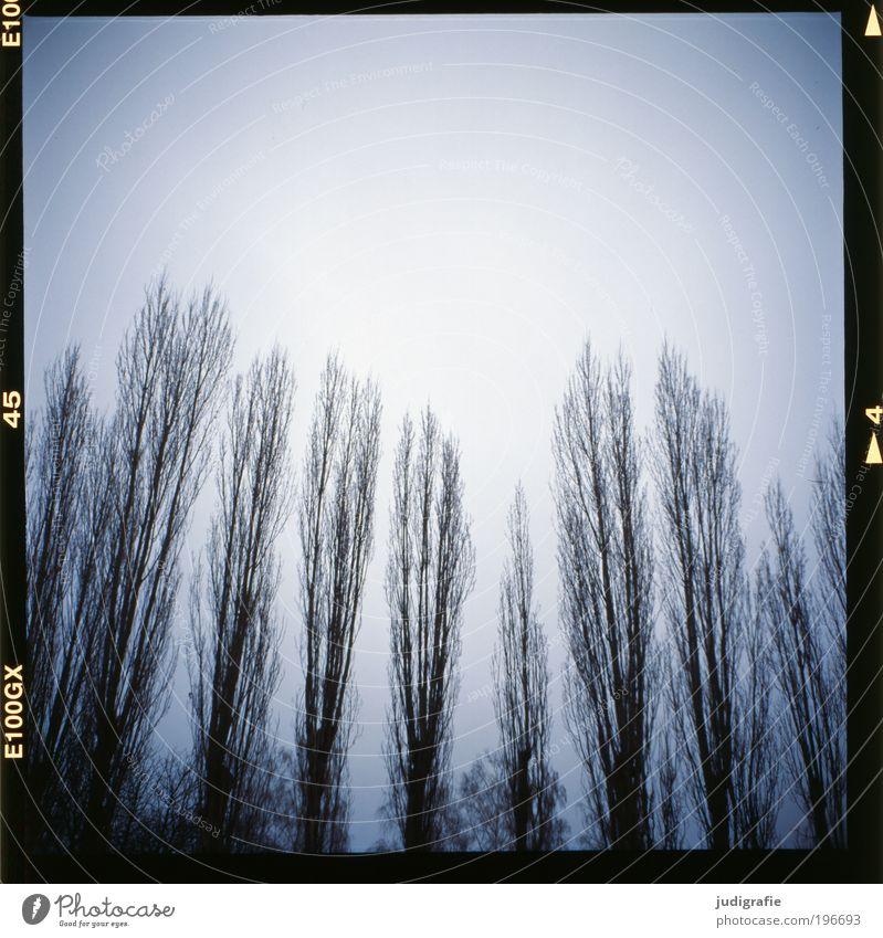 Pappeln Umwelt Natur Landschaft Himmel Winter Wetter Baum Feld Wald bedrohlich dunkel gruselig kalt natürlich blau Trauer Klima ruhig Stimmung Tod Baumkrone