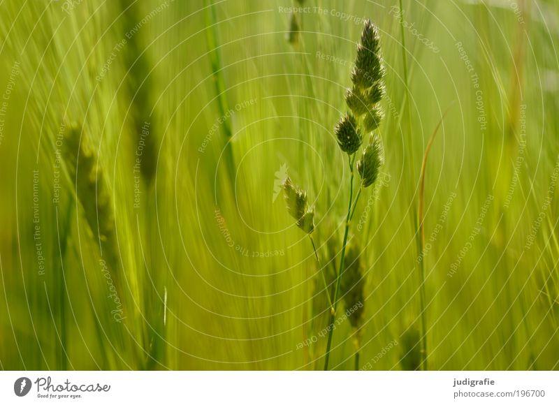 Gras Umwelt Natur Pflanze Sommer Klima Wiese Duft Wachstum frisch natürlich schön wild weich grün Bewegung einzigartig Leben Farbfoto Außenaufnahme Tag