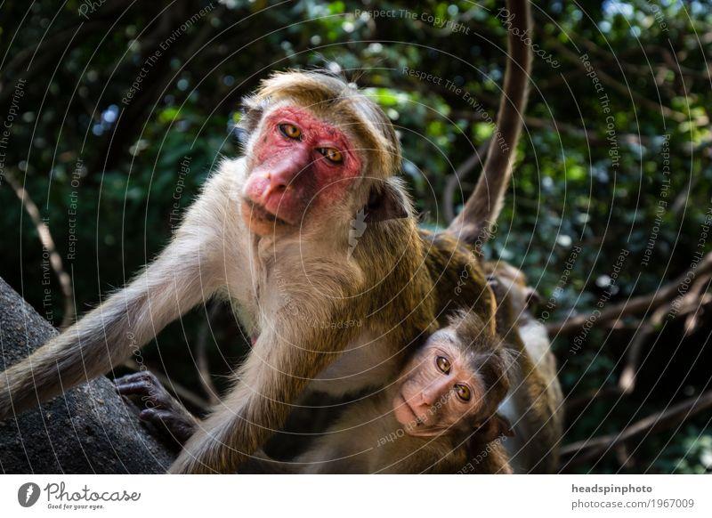 Affen mit rotem Gesicht in Sri Lanka Ferien & Urlaub & Reisen Tourismus Ausflug Abenteuer Ferne Safari Urwald Wildtier 2 Tier Fürsorge Schutz Teamwork Makake