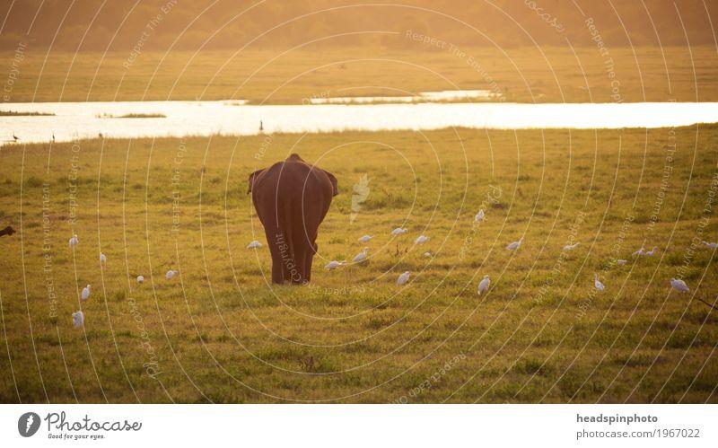 Einzelner Elephant von hinten bei Sonnenuntergang Ferien & Urlaub & Reisen Tourismus Ausflug Abenteuer Safari Expedition Sonnenlicht Gras Sri Lanka Wildtier