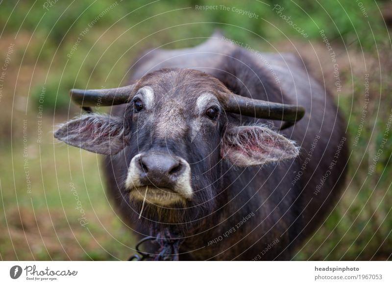 Indischer Wasserbüffel schaut in die Kamera Ferien & Urlaub & Reisen Tourismus Ausflug Abenteuer Ferne Expedition Wiese Feld Sri Lanka Nutztier Tiergesicht 1