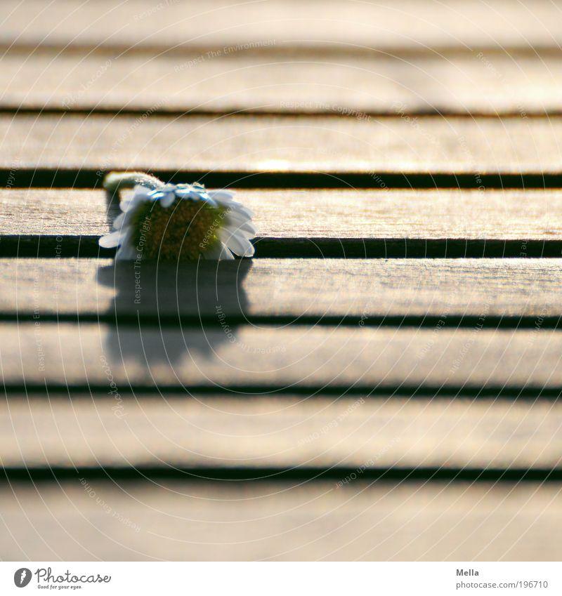 Nur nicht aufgeben! Möbel Tisch Tischplatte Umwelt Pflanze Blume Gänseblümchen Holz Linie Streifen Furche liegen klein Stimmung demütig Traurigkeit Trauer